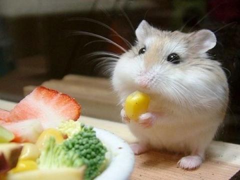 Alimentos y comida para Hamster