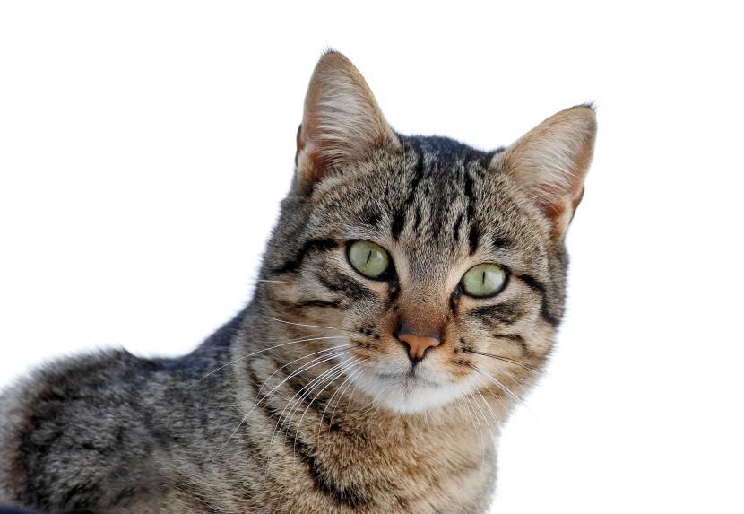 Antimosquitos para gatos