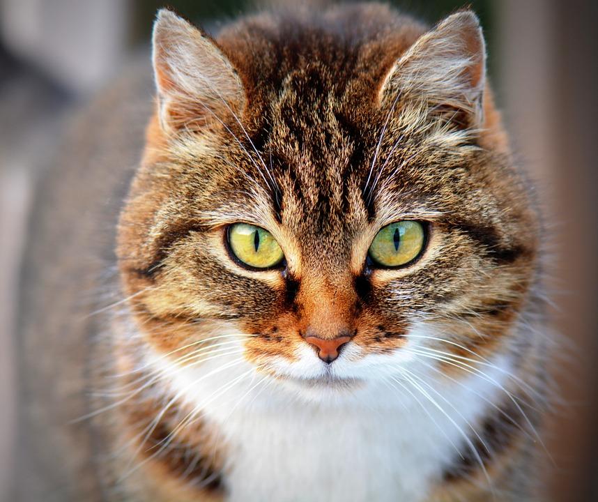 Antiparasitarios naturales para gatos
