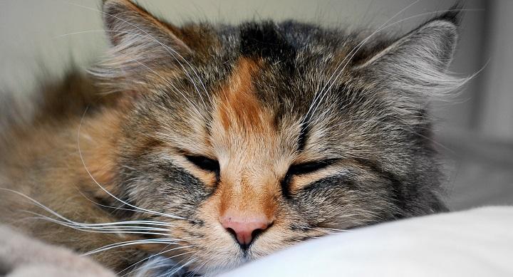 Cerebral Cognitivos para gatos