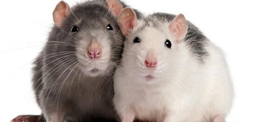 Comida para rata y raton