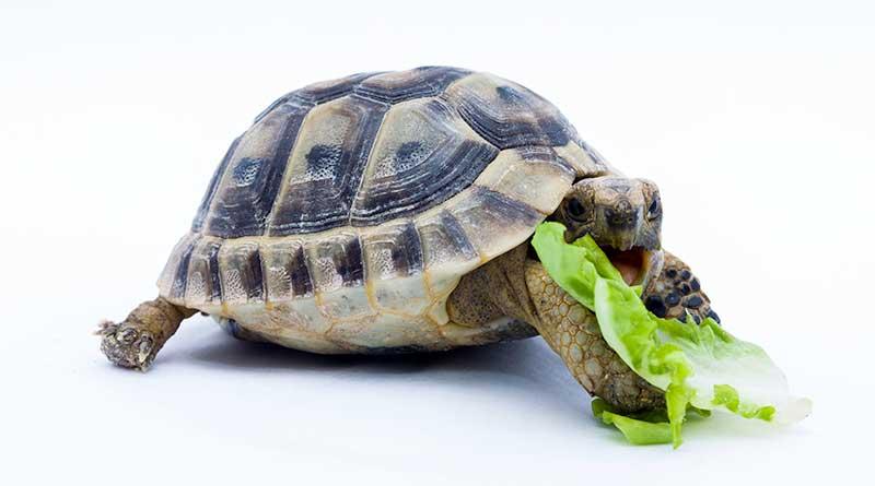 Comida para tortugas de TIERRA
