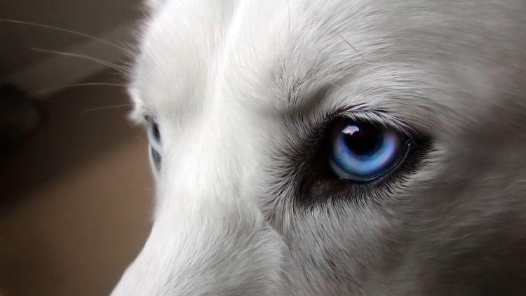 Conjuntivitis y enfermedades de los ojos en perros