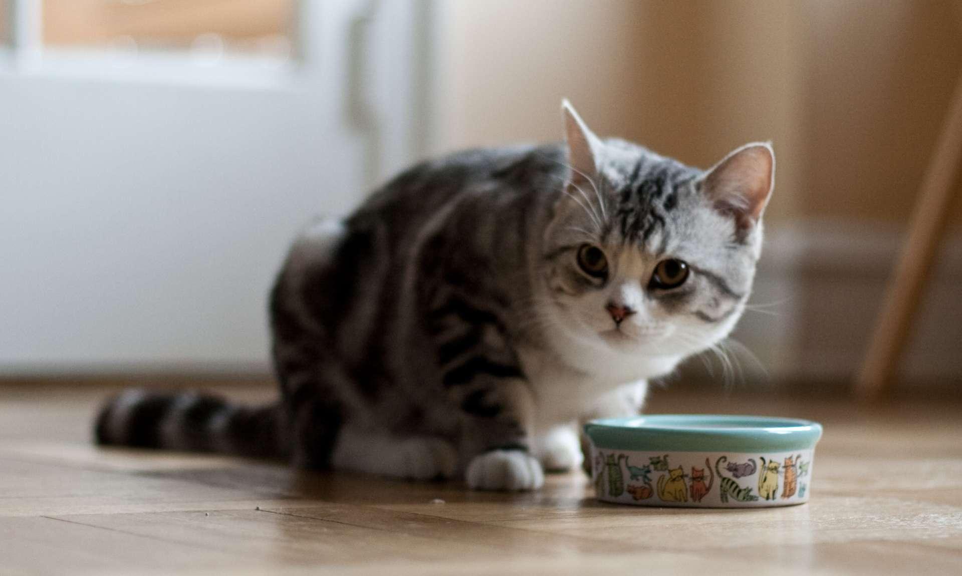 Dietas para gatos con problemas renales y urinarios