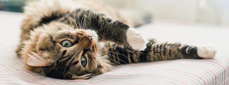 Inmunitarios para gatos