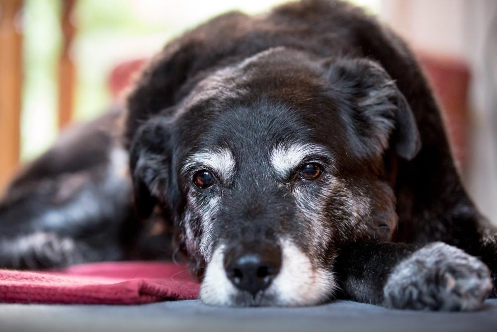 Pienso para perros Senior