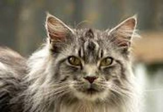 Gato lince