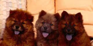 Cachorros de Chow Chow