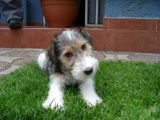 cachorro Fox Terrier