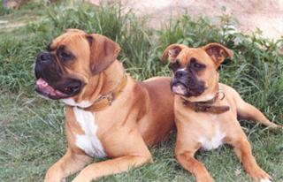 Familia Boxer