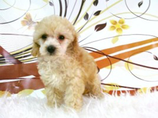 Caniche Caracter Conducta Y Comportamiento Wikipets