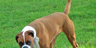 Boxer blanco y marrón
