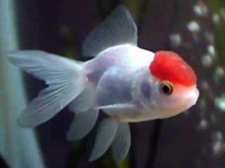 Pez boina roja