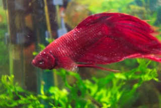 Peste roja en peces